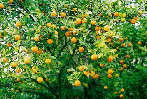 arquerio:  Kumquats! by ohnataly on Flickr.