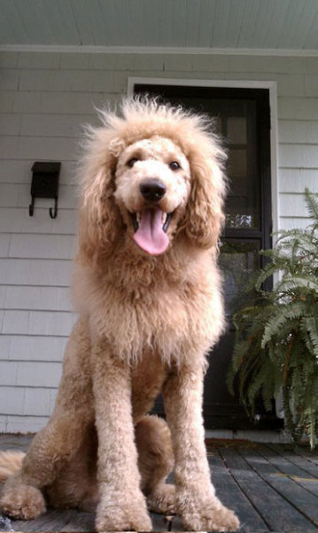 Police officers in Norfolk, Virginia, responded to reports that a lion was on the loose. They urgently contacted the local zoo to see if any of their lions had escaped. But it turned out that the animal which terrified residents was actually a labradoodle named Charles, which had been shaved to look like a lion.  Picture: SWNS.com