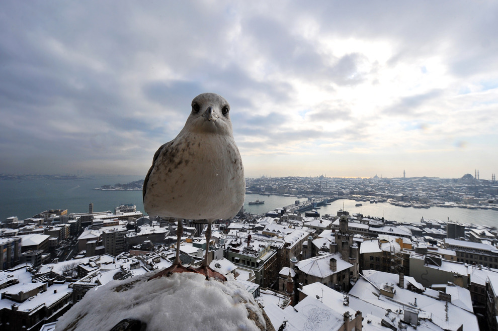 A seagull stands on Galata Tower in Istanbul on January 9, 2013. (Bulent Kilic/AFP/Getty Images) #