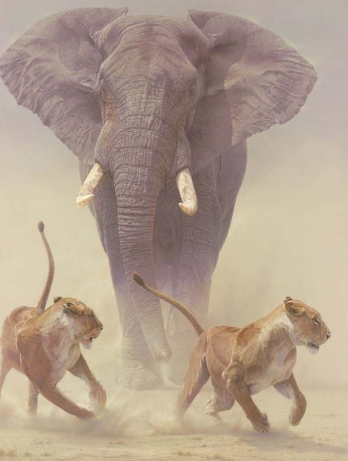 emuwren:  Bull Elephant threatening a pair of lions.