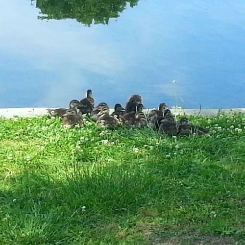 Look how cute these duckies are! #ducks #animals