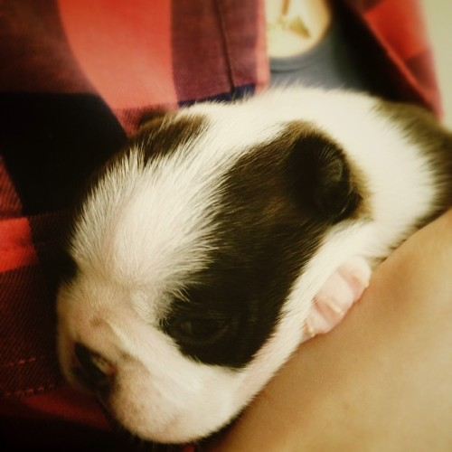 Our neighbors' two week old Boston Terrier puppy! #bostonterrier #puppy #bostonterriers #puppies #bostonterriersofinstagram