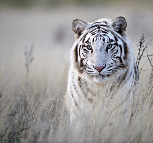 theanimalblog:  Tiger in White. Photo by Bridgena Barnard