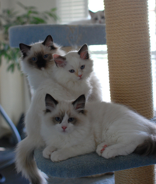 The family by Pacificat Ragdolls on Flickr.