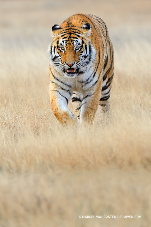 llbwwb:  For the tiger lovers:) by Mardel van oosten