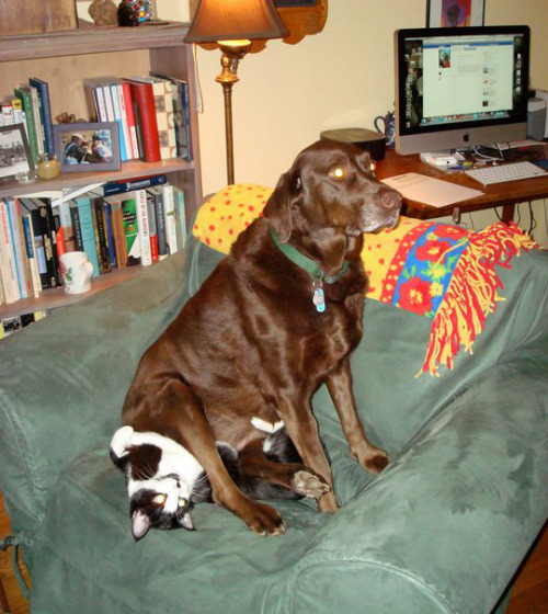 tastefullyoffensive:  tastefullyoffensive:  Dogs Sitting on Cats [video version]Previously: Dogs Using Computers  I added a few more.