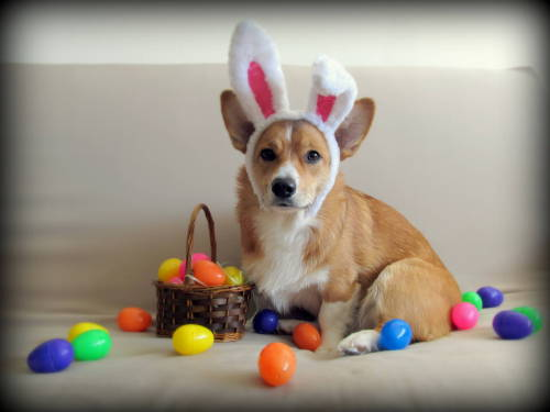 corgiaddict:  The wonderful Easter Corgi Submitted by http://aliceincorgiland.tumblr.com/