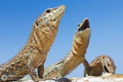 Lilford's Wall Lizard (Podarcis lilfordi) … is endemic to the Balearic Islands off the coast of Spain. This species was once present across the archipelago, including the large islands of Mallorca and Menorca. Today it is only found on small, rocky islands with no human inhabitants. Morphologically distinct subspecies have emerged on many of these isolated islands. More about this lizard on EOL: http://eol.org/pages/791009/details (image by DanyelAndre via Wikimedia Common)
