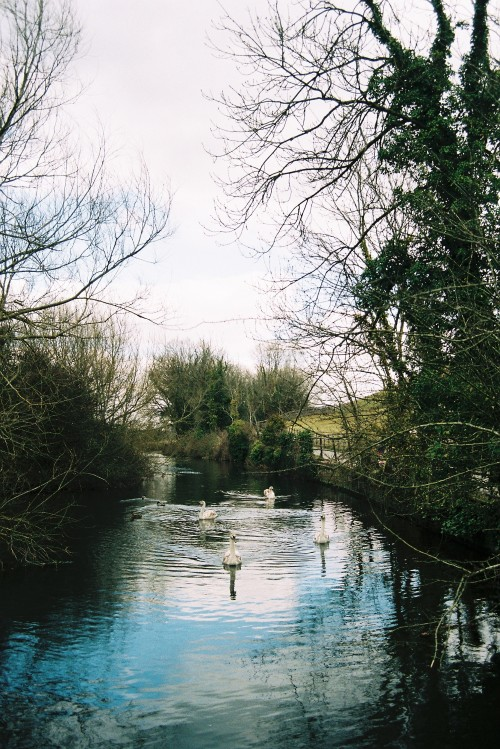 Film Photography Submission By: south-england  Swans at St. Catherine's Hill, Winchester by Thomas Hanks