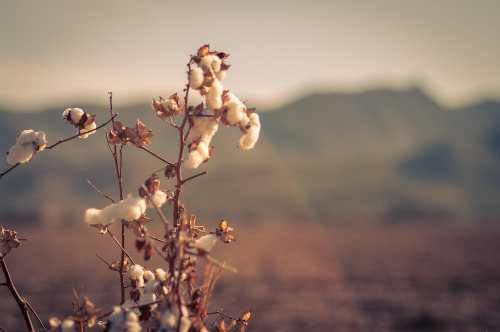 Cotton in a field with South Mountain in the background.