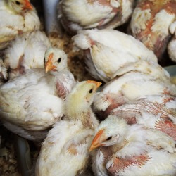 Raising poultry is another income generation project for grannies that was started by Hillcrest AIDS Centre