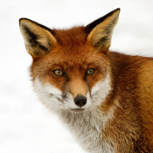 llbwwb:  Fantastic Mr Fox … (by wendysalisbury)
