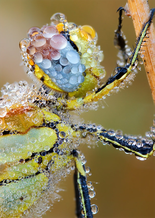 mucholderthen:  Red-Veined darter II by ~struller  The Red-veined Darter or Nomad (Sympetrum fonscolombii) is a dragonfly of the genus Sympetrum. It is a common species in southern Europe and from the 1990s onwards has increasingly been found in northwest Europe, including Britain and Ireland.Wikipedia
