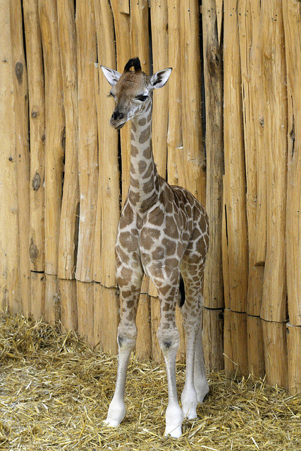 Giraffe by Michael.Doering on Flickr.