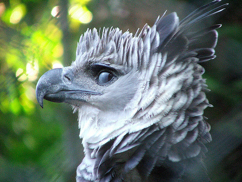 "queensimia:  fairy-wren:  ""This is a photo of the Harpy Eagle, a bird of prey usually inhabits tropical lowland rainforests in the upper canopy layer. ""  Love harpy eagles. Don't usually see them from this angle, so bonus!  These birds are fucking awesome, and seconding not commonly seeing them from this angle!"