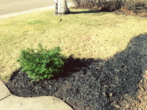 The other find of the day was black mulch! I am calling it Goth Mulch and its amazing. The new shrub is a Snowmound Spirea.  © Brenda L Bazylewski