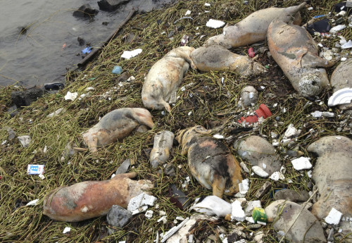 "techmical:  Polluted Pork, Pathogen And Plastic River Soup ""The greatness of a nation and its moral progress can be judged by the way its animals are treated."" - Ghandi  The number of dead pigs recovered in the last two weeks from rivers that supply water to Shanghai has risen to more than 16,000. Authorities give daily updates assuring the public that tests show Shanghai's water is safe, but no official has given any full explanation about the massive dumping of pig carcasses. Hog farmers have told state media that the dumping of swine carcasses is rising because police have started cracking down on the illicit sale of pork products made from dead, diseased pigs.  read more"