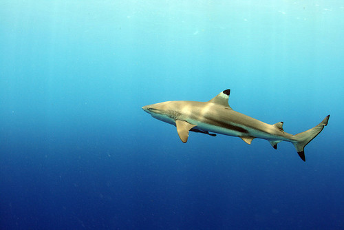 black-tip reef shark
