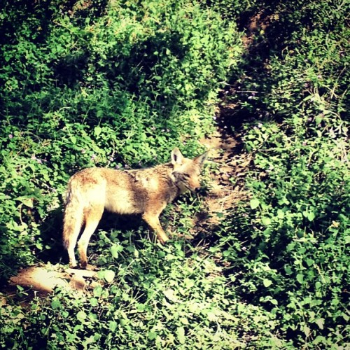 Hello, is it me you're looking for?  #losfeliznoir #coyote