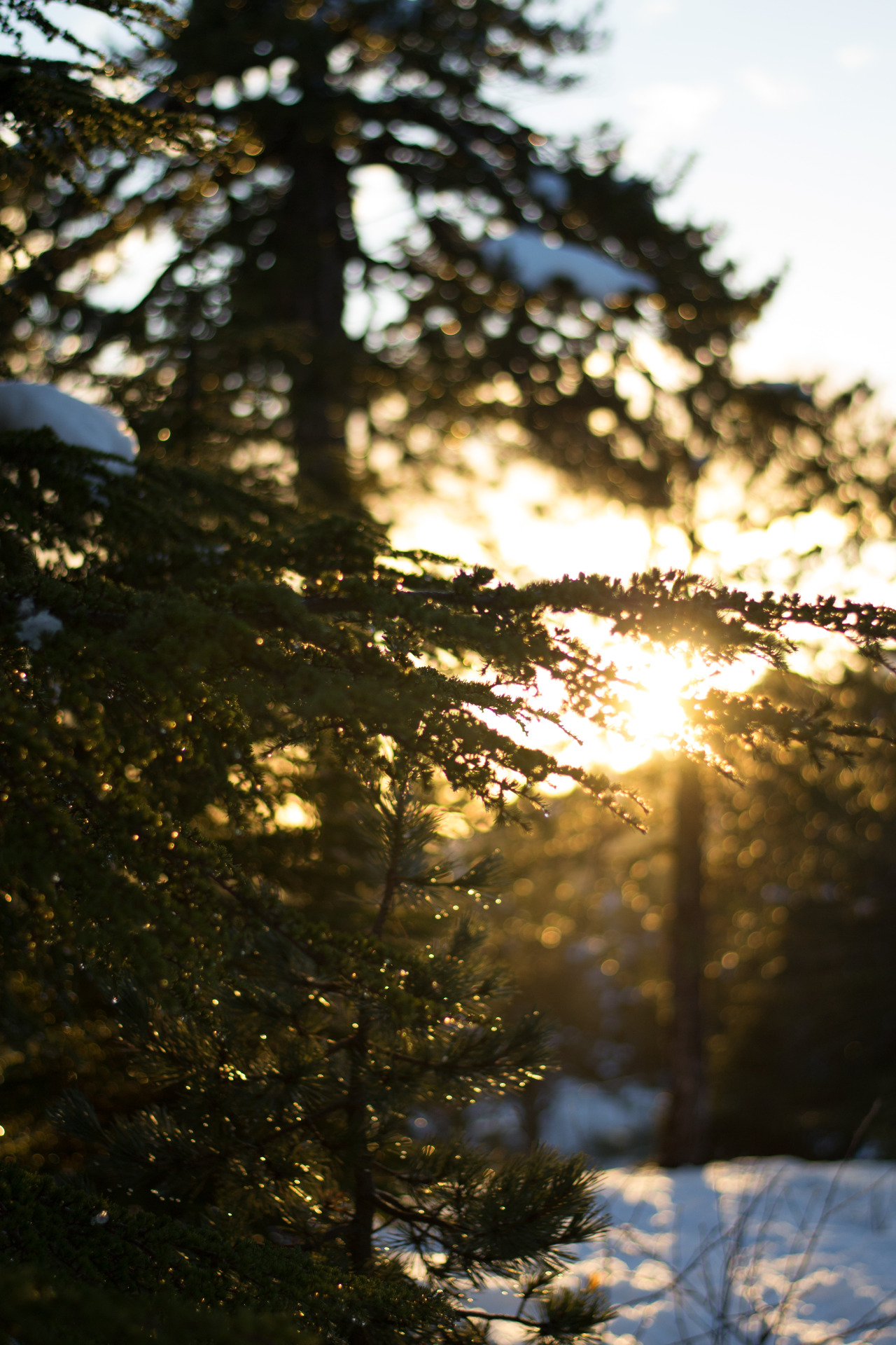 natureness:  Sun Piercing Through Trees & Snow