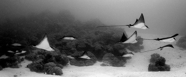 trynottodrown:  035_adj_DSC2581 eagle rays by edpdiver on Flickr.