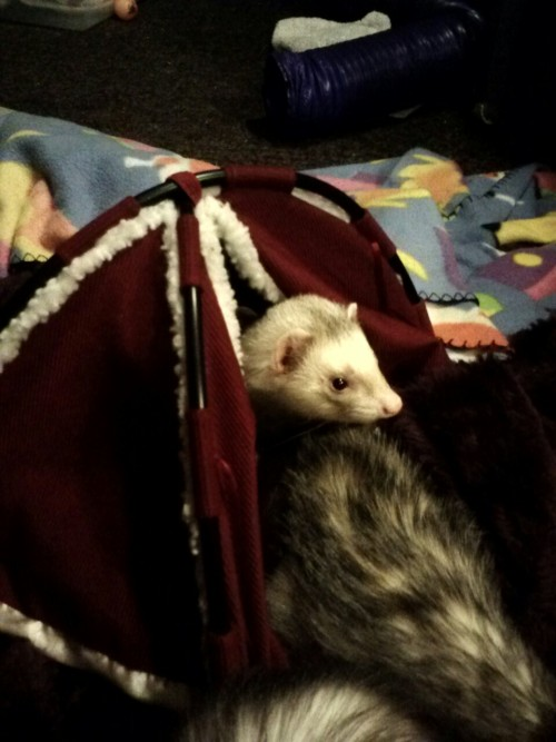 Found a tiny tent at thrift store. Bought it for the ferrets.  Wisest decision, or wisest decision?
