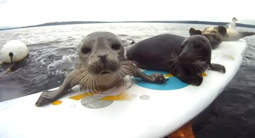 Seal pups use surfboard as a slip-n-slide — seriously cute video as these youngsters try to hop up onto a surfboard with a mounted GoPro camera capturing it all.