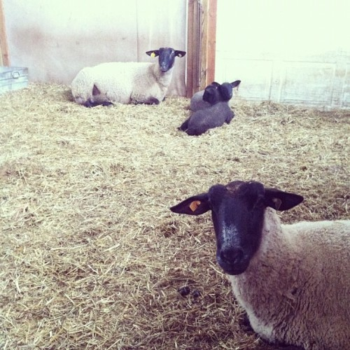 Some baby lambs came early this year!  (at hopewell)