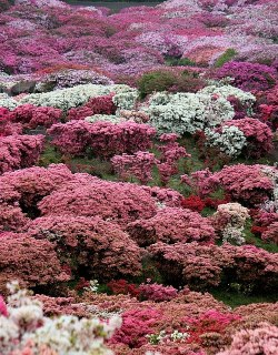 Azaleas in bloom, Japan