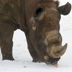 funnywildlife:  funnywildlife: A rhinoceros tastes some snow in its enclosure at the zoo in Leipzig, eastern GermanyPicture: PETER ENDIG/AFP/Getty Images   Los amo…..