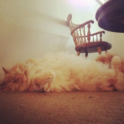 Maximum fluff #cat #fluffy #denver