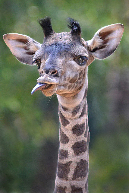 sdzoo:  Silly face by Ion Moe Only one week old and already teasing guests.