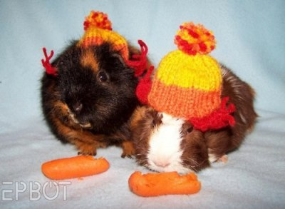 debbipete:  Guinea pigs in Jayne hats.