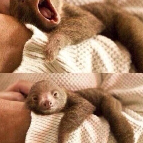 kingsleyisilebo:  #baby #sloths #animals #cute