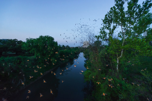 Waugh Bridge Bat Colony  /  Mexican Free-Tailed BatsThere are 300,000+ living under the Waugh Bridge.Their lifespan is on average 13 years. Bats eat insects, fruit and nectar. Bats are gentle animals and will not harm you if left alone.  Females give birth to a single baby, or pup, each spring.2013 © debora smail