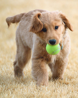 Puppy Play! by gainesp2003 on Flickr.I GOT U DIS BALL