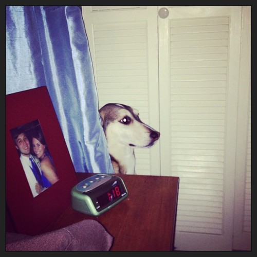 Well. What are you doing behind the curtain, Creepy McCreepstein? #greyhound #anika #weird