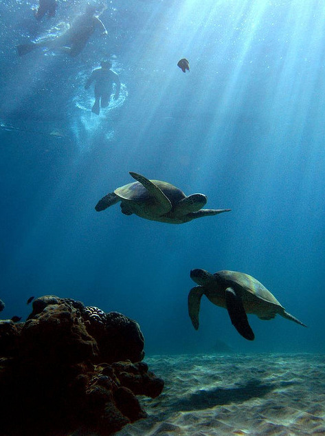 thelovelyseas:  Turtles and snorkelers by bluewavechris