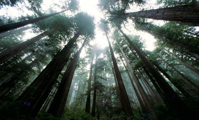 Can cloning redwoods help fight climate change? A recent study revealed Earth is currently warmer than any given point in the past 11,300 years. So what should we do?  One idea: Clone and plant a lot of gigantic trees with a glutton's appetite for carbon dioxide.  Archangel Ancient Tree Archive is spearheading a movement to plant California's towering redwood trees in Australia, New Zealand, Great Britain, Ireland, Canada, Germany, and other parts of the United States.  According to NASA previous research has demonstrated that these monstrous organisms are capable of digesting much more carbon than any other tree on the planet. Read more…  Photo from: DLILLC/Corbis