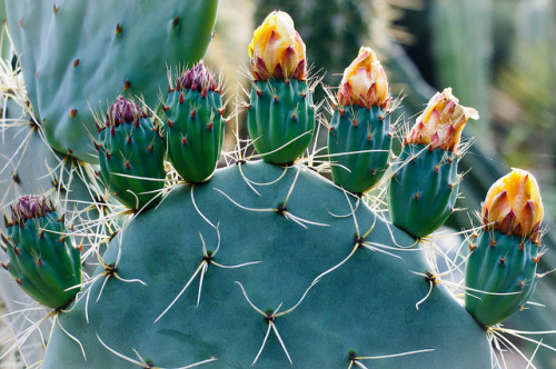 crystenesobsessions:  cactus blooms by pearson3 on Flickr.