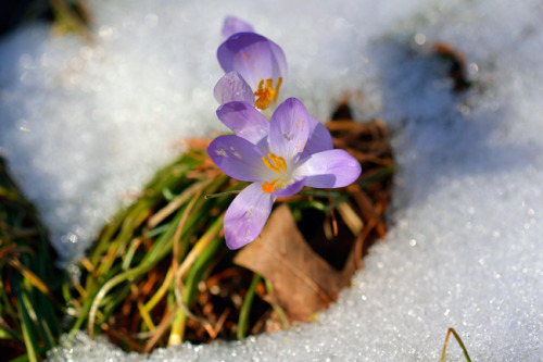 Crocus vs Snowbank. Love these little reminders that spring is coming.