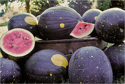 "abirdthatwhistles:  Moon & Stars Watermelons ""The early history of Moon and Stars is unknown. It is known to come from Tennessee. Henry Fields (Shenandoah, Iowa) and Robinson Seed Co. (Waterloo, Nebraska) both offered it during the 1930's. The medium-sized oval dark green fruits are covered with pea-sized bright yellow ""stars"" and usually one larger ""moon"". The fruits have sweet pink flesh and brown seeds. Foliage is also spotted."" - HeirloomsRUsSeeds"