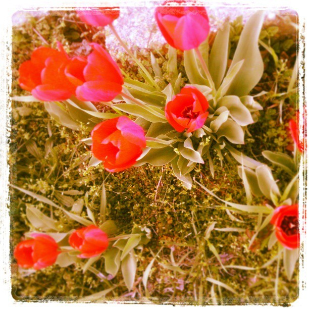 My favorite flower…! Tulips on my garden…! #flower #tulip #red #redflower #spring #beautiful #love