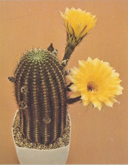 Cactus: Lobivia hybridBook: Cactus and Succulents; House plants & Landscaping Ideas in Color by the Editors of Sunset Books and Sunset MagazinePhotography source: Steve W. Marley