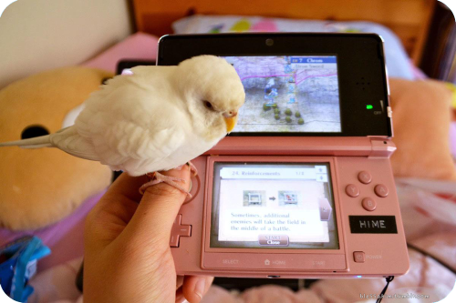 moeblessa:  Joli enjoys joining me whenever I play with my 3DS