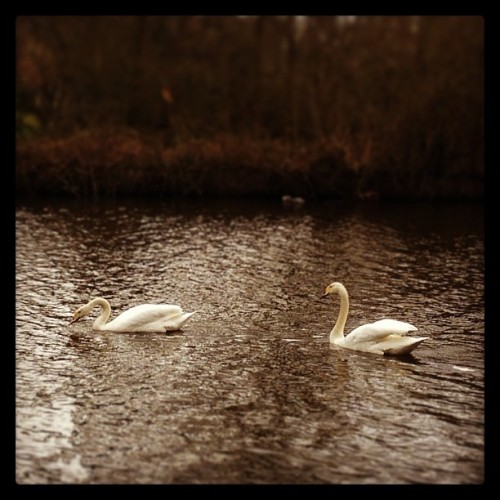 #swans #swan #water #littlethings #pretty #cute #whooperswan #instamood #couple #animals #birds