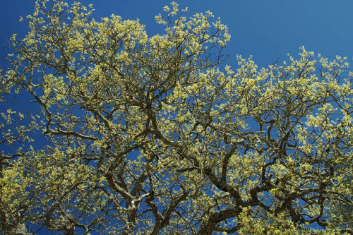 oak tree #2 by ah zut on Flickr.[Image: An oak tree going into leaf.]