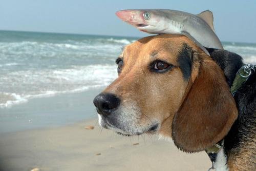 animals-riding-animals:  shark riding dog