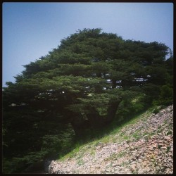 #oldest #cedar #tree #lebanon #flag #inspiration #chouf #reserve