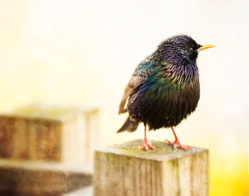 animals-animals-animals:  Starling (by Richard Hammer)